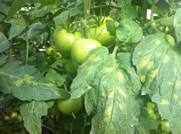 Болезни помидоров в теплицах