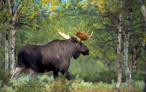 Охота на лося и изготовление трофеев