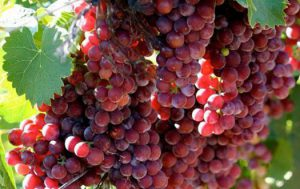 Ароматный виноград для гурманов