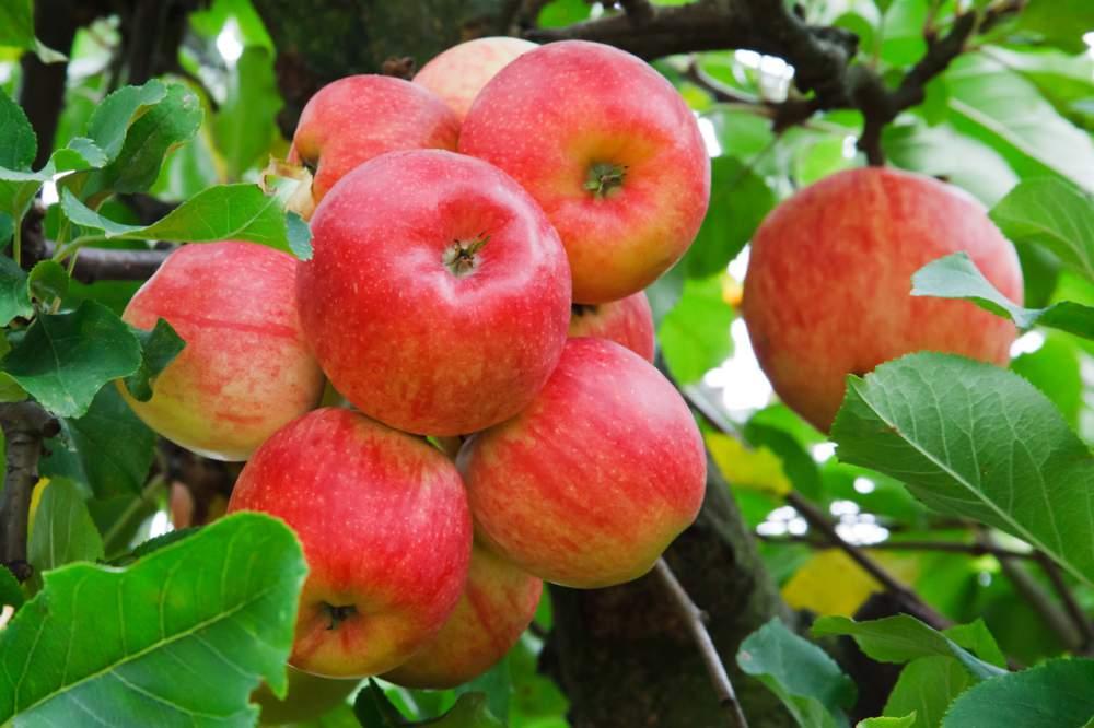 Выращивание яблони в домашних условиях