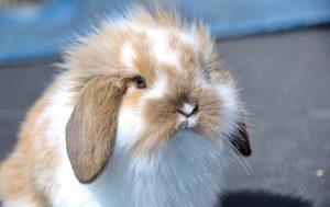 Кролик: заботимся о питомце